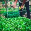 Recolector de verdura